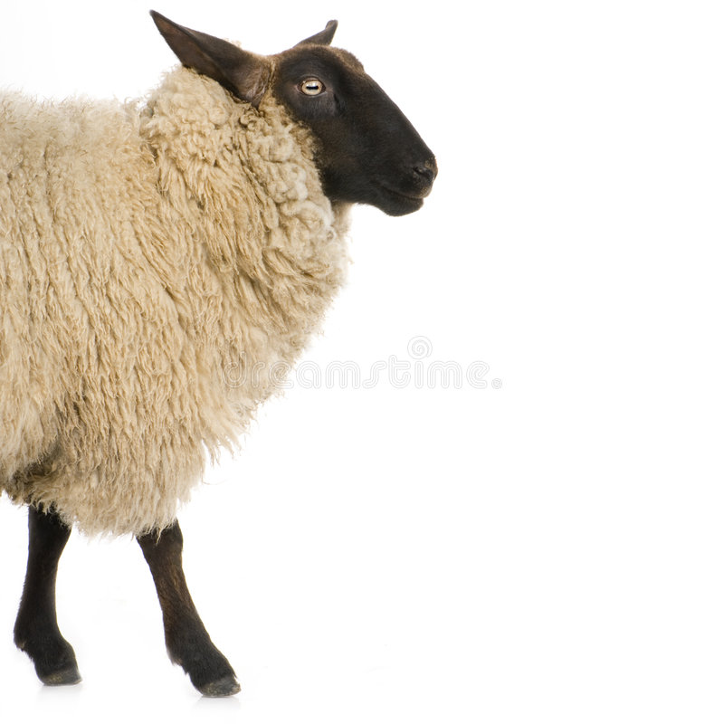 Download Sheep stock photo. Image of farm, cattle, livestock, domestic - 2333304