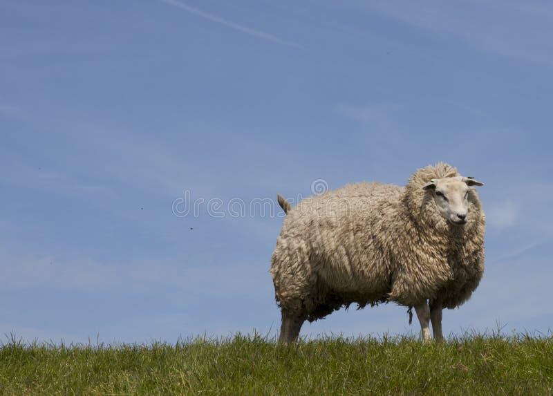 Download Sheep Stock Image - Image: 25367451