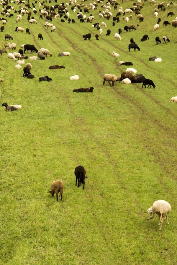 Download Sheep stock photo. Image of flock, scenery, sheep, farmland - 25658572