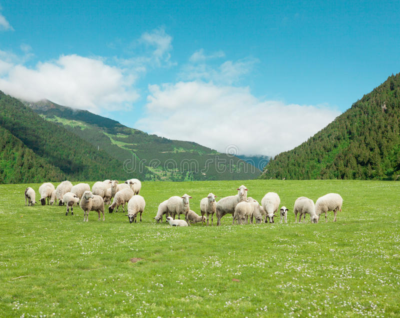 Download Sheep stock image. Image of meadow, pure, mutton, beautiful - 26132573