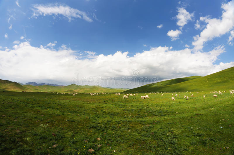 Download Sheep Royalty Free Stock Photography - Image: 26144577