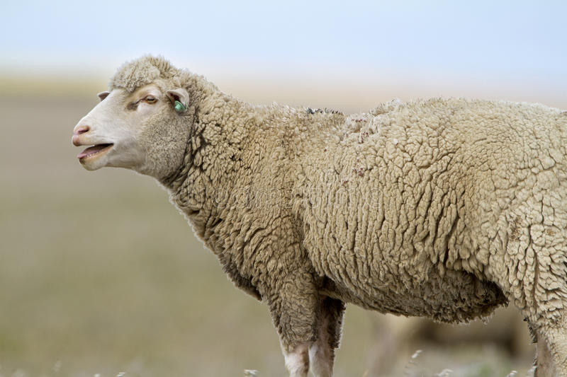 Download Sheep stock image. Image of sheep, field, milk, mammal - 26361421