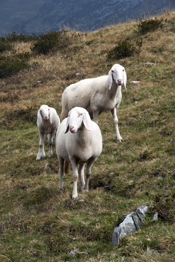 Download Sheep stock photo. Image of outdoor, herd, lambs, agriculture - 26569994