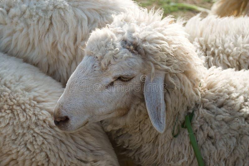 Download Sheep stock photo. Image of lamb, nature, baby, playful - 27085390