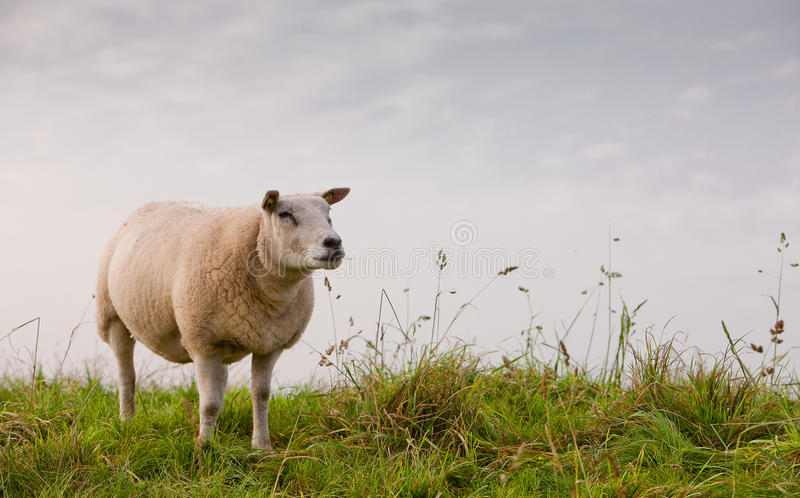 Download Sheep stock image. Image of grass, sheep, field, romantic - 27282193