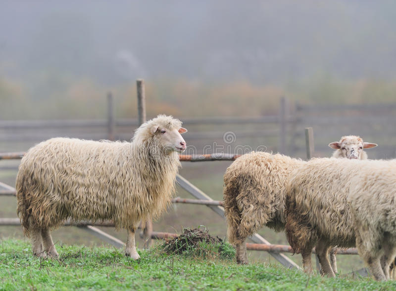 Download Sheep stock photo. Image of flock, lamb, friendly, countryside - 27472574