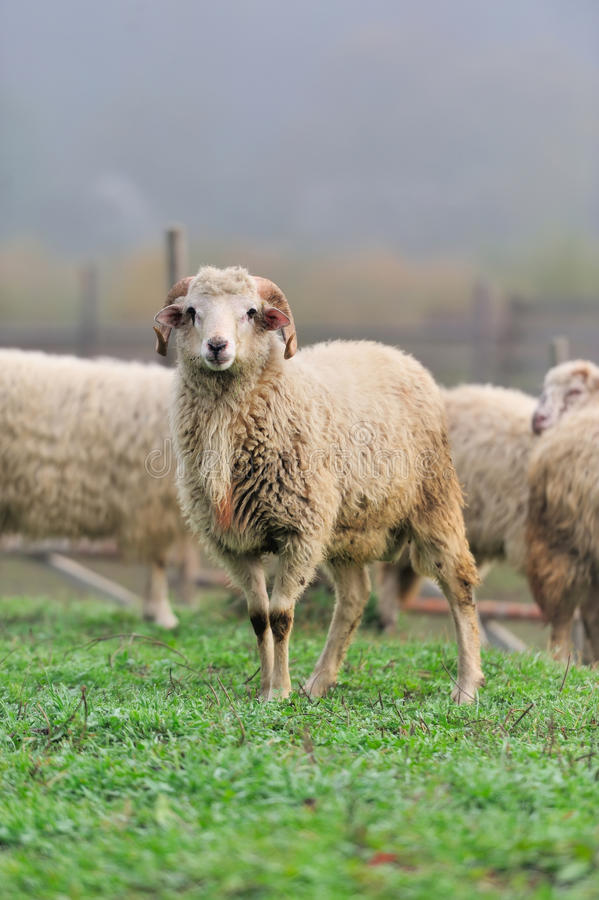 Download Sheep stock photo. Image of interest, curious, inquisitive - 27472576