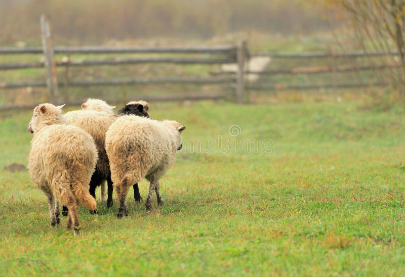 Download Sheep Royalty Free Stock Photo - Image: 27472665