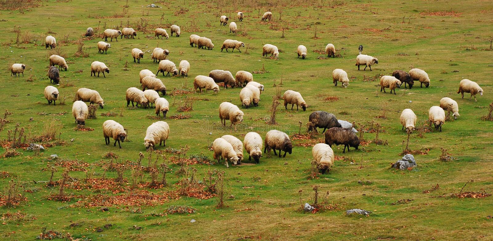 Download Sheep stock photo. Image of pasture, sheep, domestic - 27593084