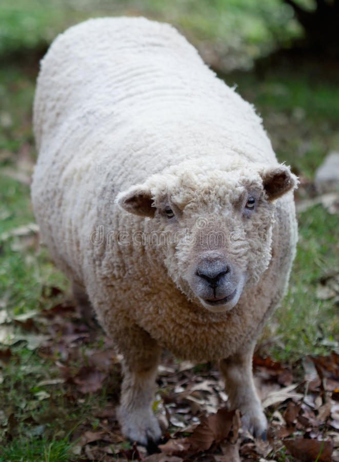Download Sheep stock image. Image of staring, farm, white, woolly - 28167519