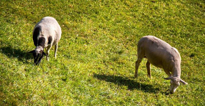 Download Sheep stock photo. Image of nature, free, animal, natural - 28262134