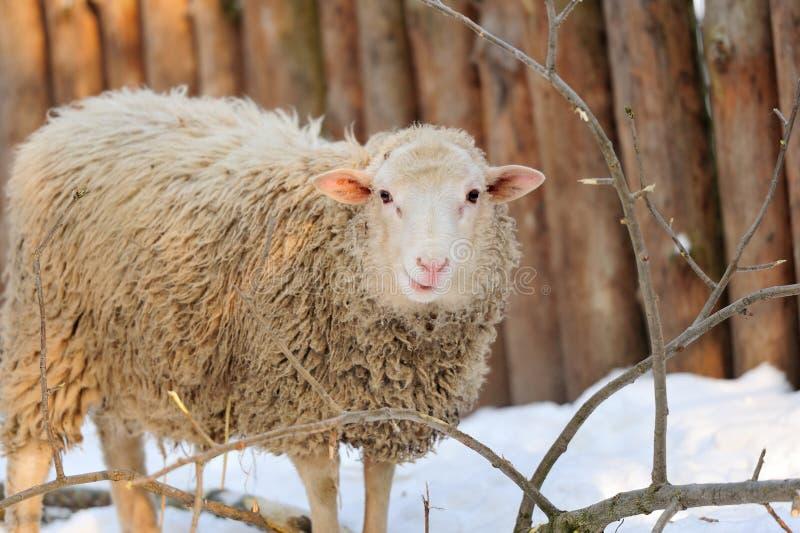 Download Sheep Royalty Free Stock Image - Image: 28855546