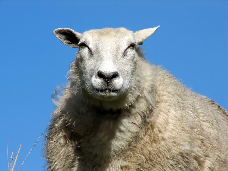 Download Sheep stock photo. Image of farmland, shear, blue, cute - 3141424