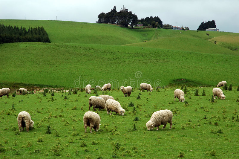Download Sheep stock photo. Image of farm, agriculture, meadow - 3613342