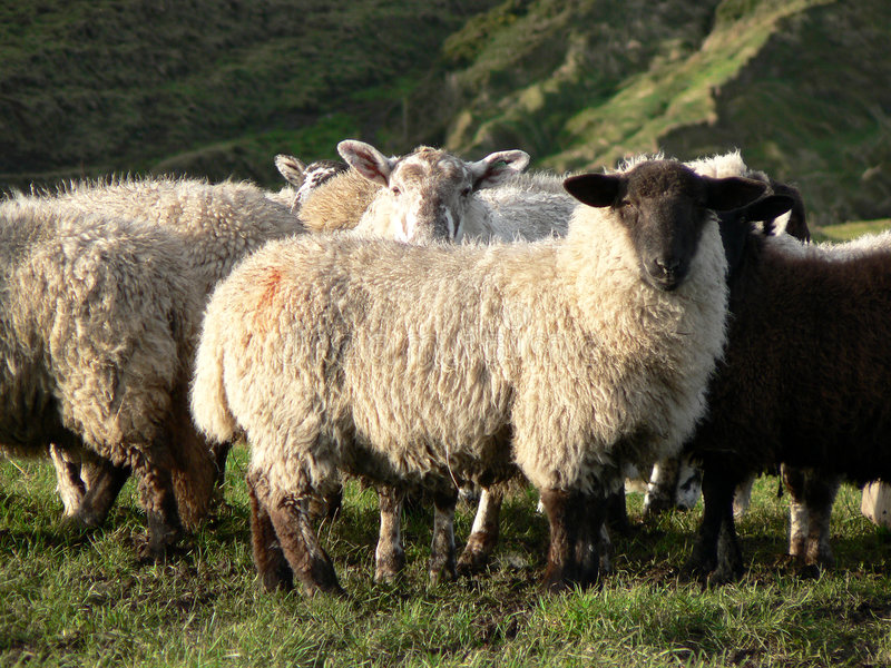 Download Sheep Stock Images - Image: 507824