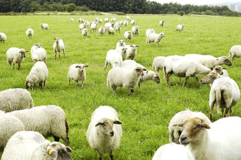 Download Sheep Royalty Free Stock Image - Image: 5825396