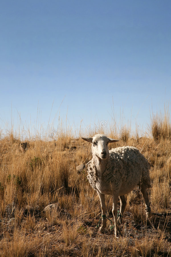 Download Sheep stock photo. Image of bovid, white, woolly, wool - 6325052