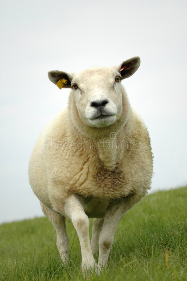 Download Sheep stock image. Image of outdoor, intimidating, outside - 6507291