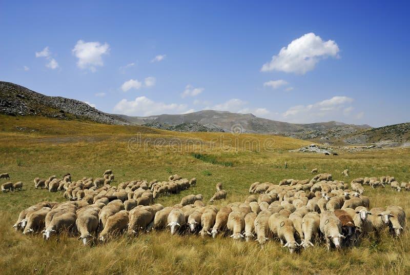 Download Sheep stock photo. Image of flock, lamp, pattern, macedonia - 6911878