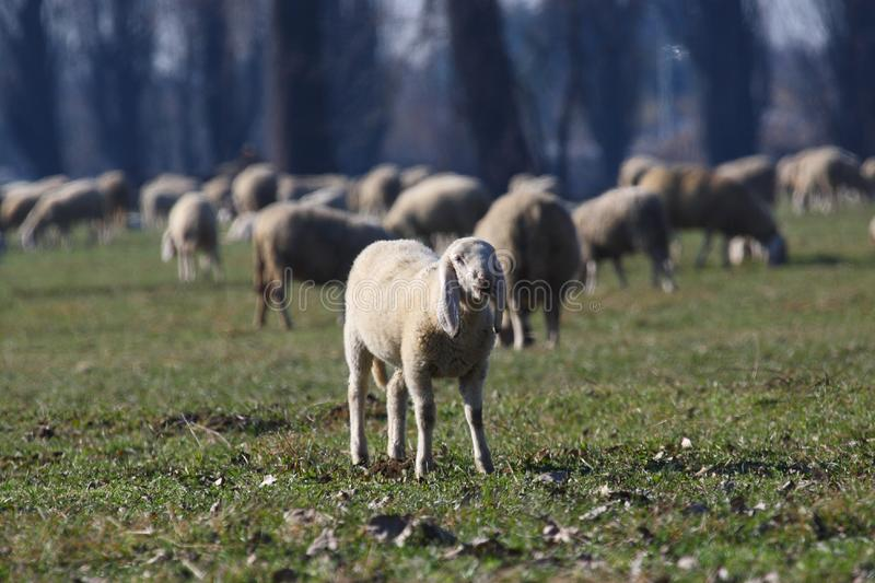 Download Sheep stock photo. Image of countryside, grass, herd, landscape - 8339848