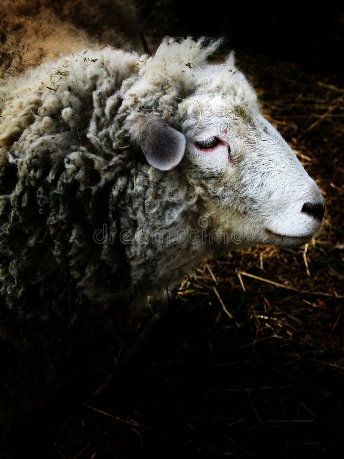 Free Sheep - A Portrait In The Barn Stock Image - 727061
