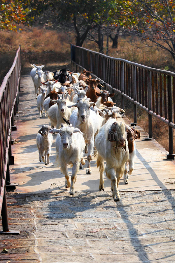 Download Sheep Across The Bridge Royalty Free Stock Photos - Image: 16920318