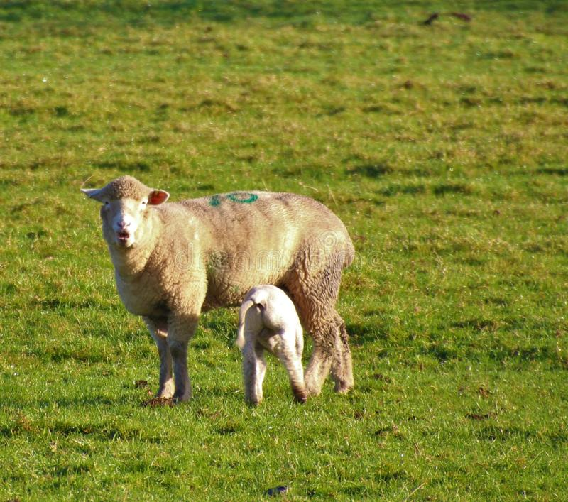 Sheep. An amazing face pulled by this ewe when her lamb latched on stock photos