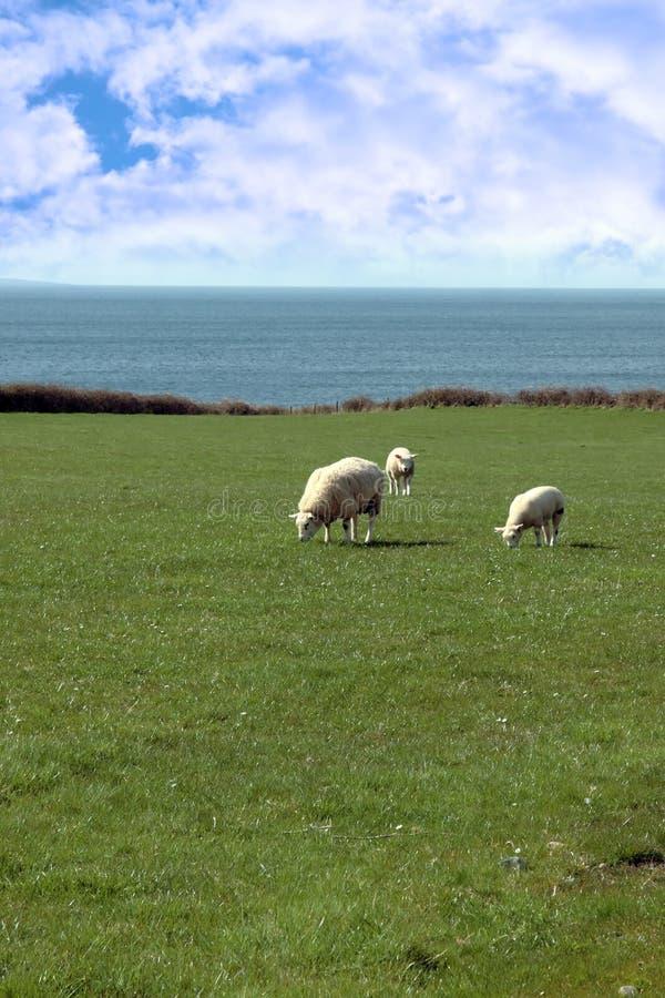 Free Sheep And Lamb Stock Photo - 18507140