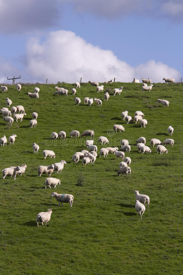 Free Sheep And Lamb Grazing Royalty Free Stock Image - 23631926