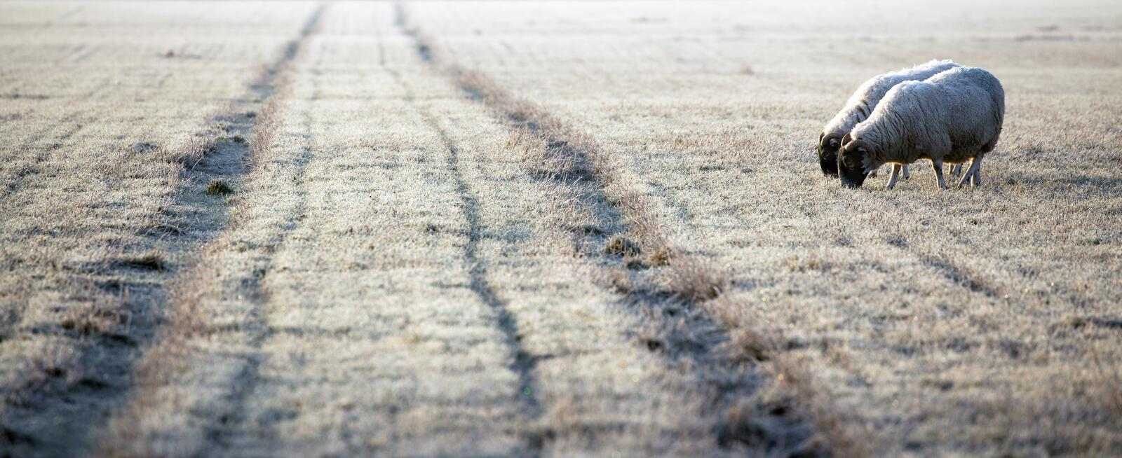 Sheep approaching the frosty track royalty free stock photos