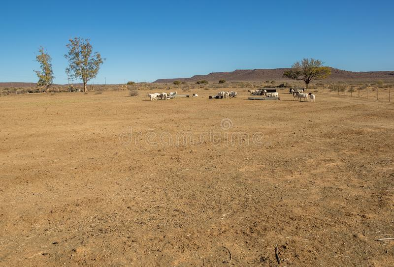 Sheep farming in the arid Great Karoo in South Africa. Sheep in an arid paddock on a farm in the Great Karoo region of South Africa image in landscape format stock photos