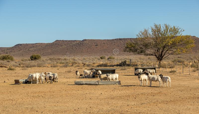 Sheep farming in the arid Great Karoo in South Africa. Sheep in an arid paddock on a farm in the Great Karoo region of South Africa image in landscape format stock images