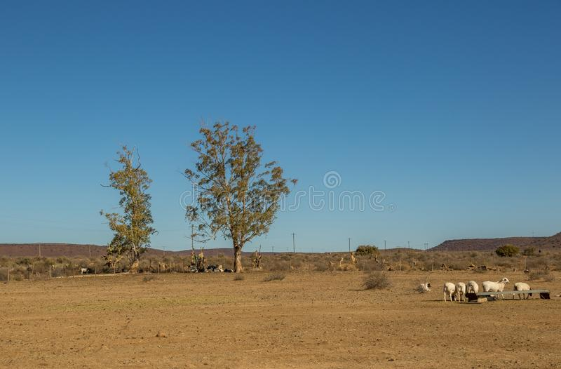 Sheep farming in the arid Great Karoo in South Africa. Sheep in an arid paddock on a farm in the Great Karoo region of South Africa image in landscape format stock image