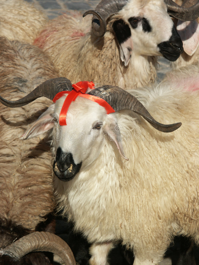 Sheep and aries. Close up image of sheep and aries stock images