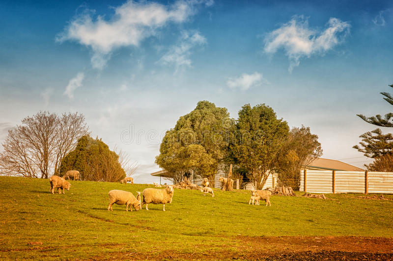 Sheep in Australia. Sheep grazing on farmland in Victoria, Australia royalty free stock photography