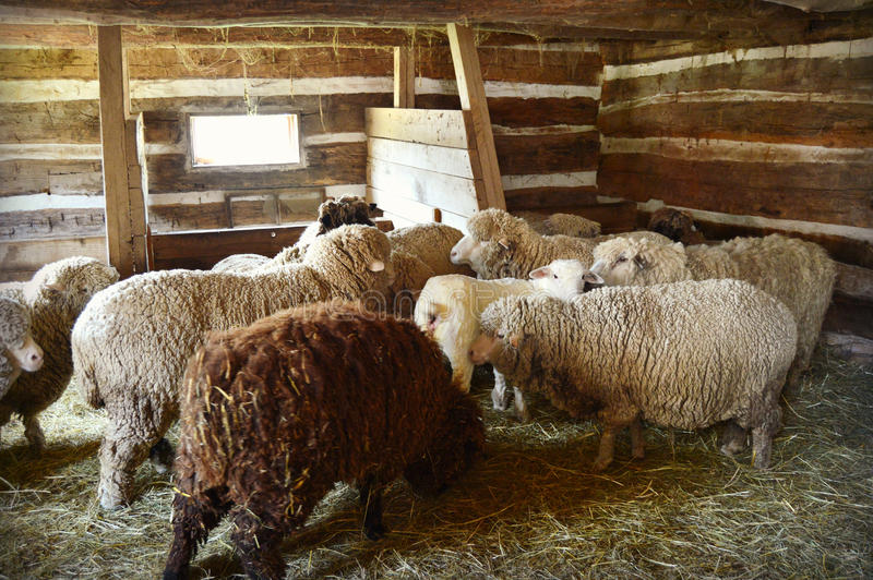 Download Sheep In A Barn Stock Image Of Farm Agricultural