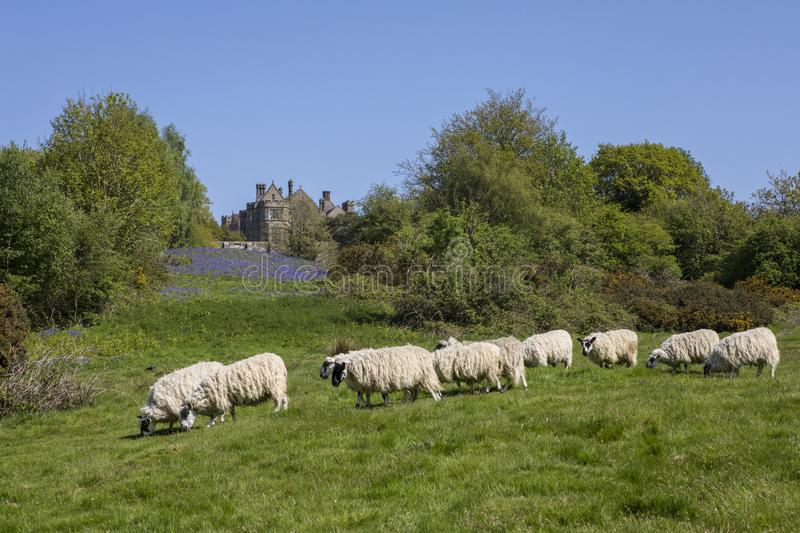 Sheep at Battle Abbey in East Sussex stock images