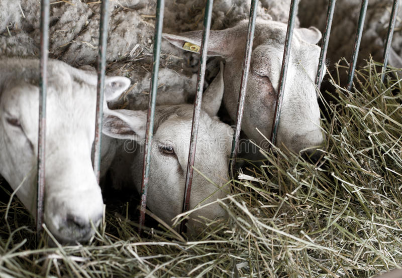 Sheep behind bars. Conceptual image od three sheep closed behind bars stock photos