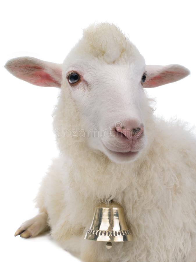 Sheep with bell isolated stock photo