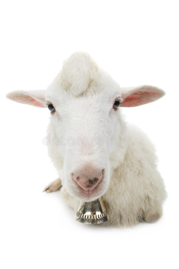 Sheep with bell isolated royalty free stock photo