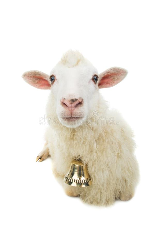 Sheep with bell isolated stock photography