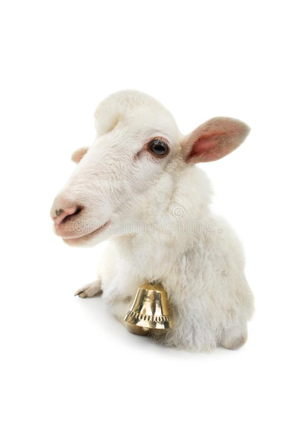 Sheep with bell  royalty free stock photography