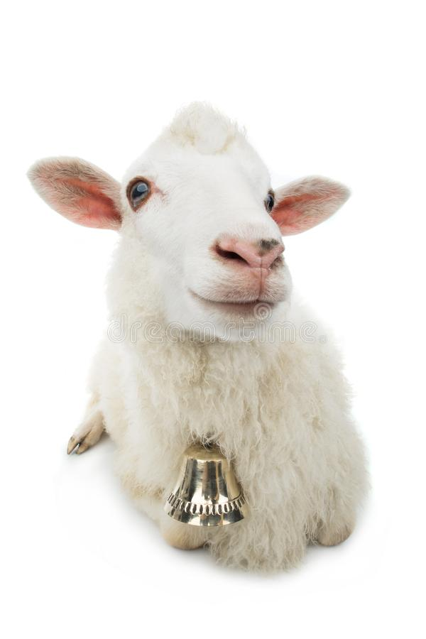 Sheep with bell isolated royalty free stock images