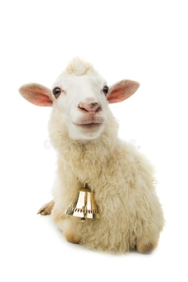 Sheep with bell stock images