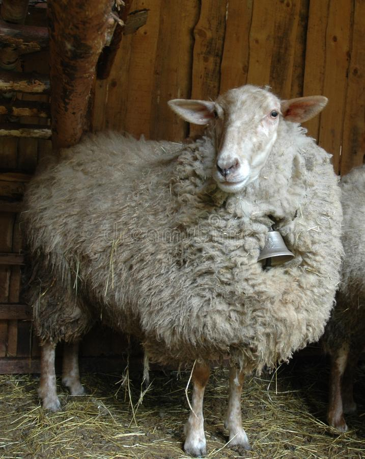 Sheep with the bell stock photos