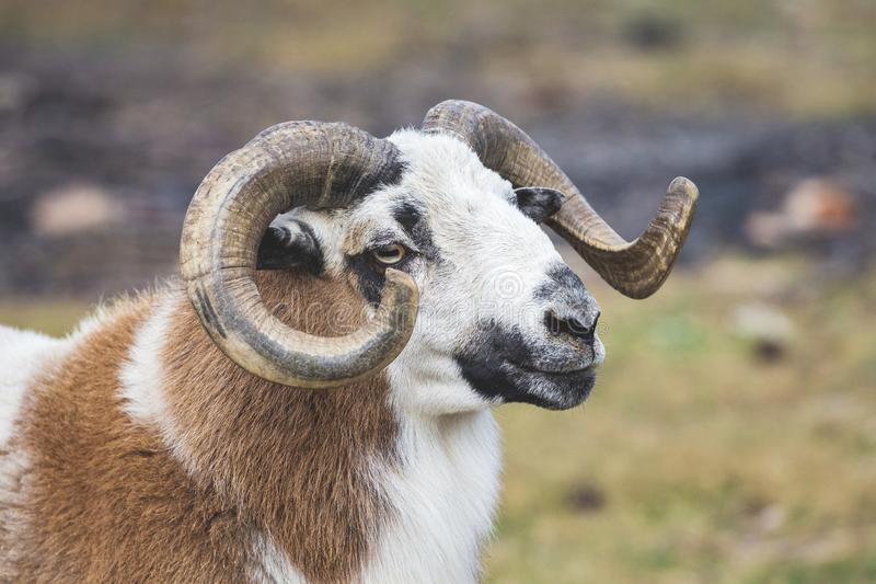 Sheep with big swirling horns on blurred background_ stock images