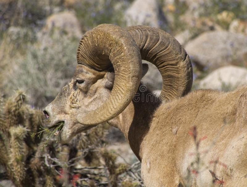 Sheep with Bighorn stock photography