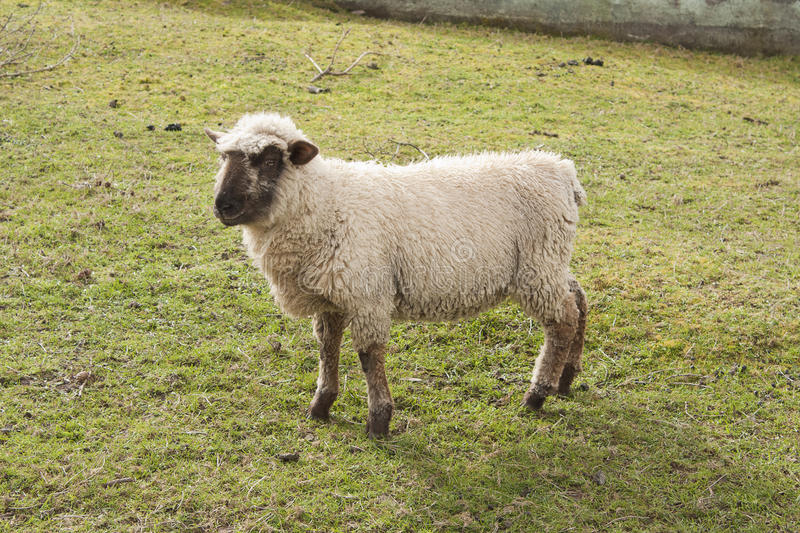 Download Sheep stock image. Image of agriculture, beautiful, animal - 33117719
