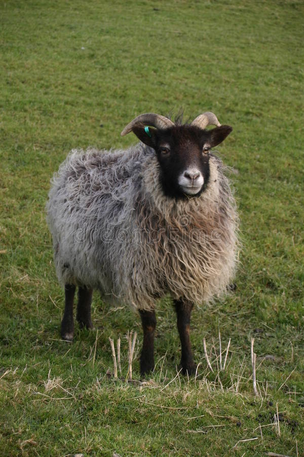 Horned sheep with black head. Sheep with a black head and legs, white nose and horns. Woolly grey coat. Grass field as background stock photos