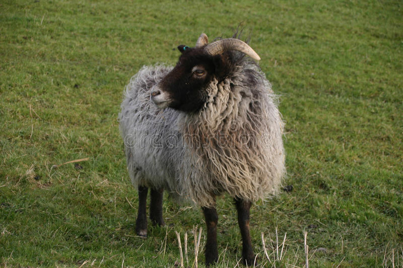 Horned sheep with black head. Sheep with a black head and legs, white nose and horns. Woolly grey coat. Grass field as background stock photo